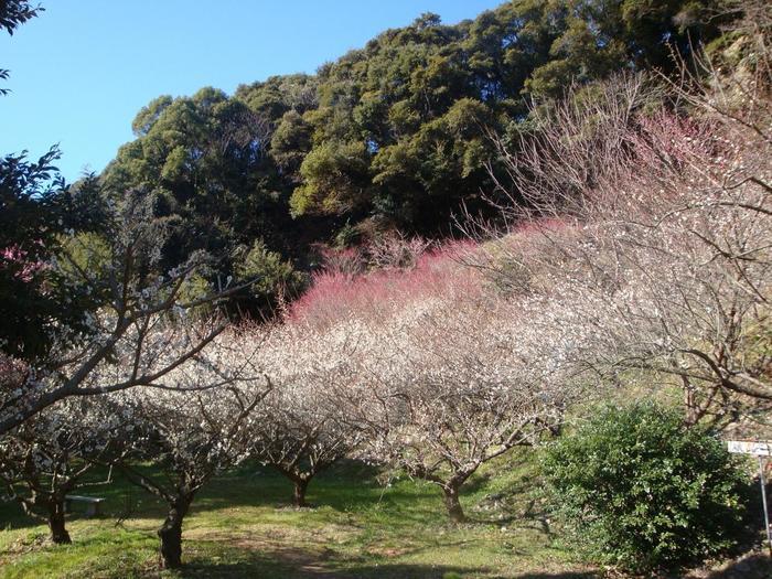 次々と開花し、甘い香りを漂わせる梅の花は、のどかな山里風景の美しさを引き立てています。