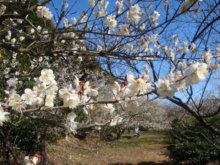 なだらかな山の傾斜地に広がる相良梅林では、約20品種、700本の梅が植栽されています。