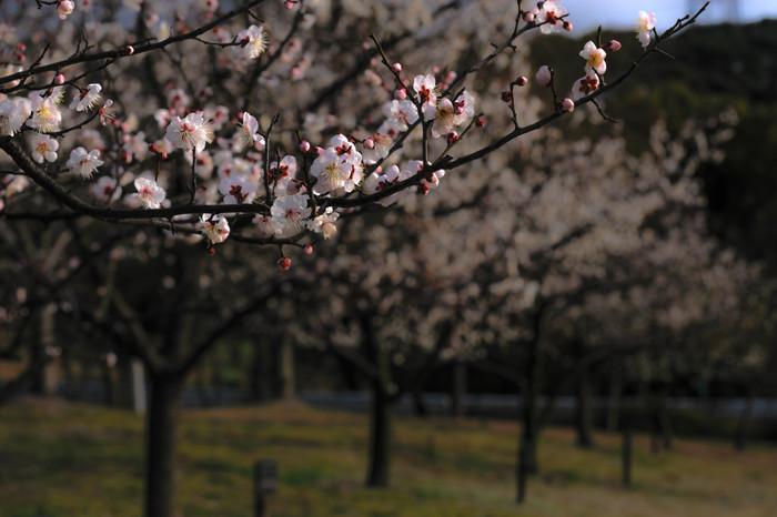 愛知県知多市にある佐布里ダムの調整池、佐布里池の周辺には、佐布里梅、白加賀、青軸など約25品種の梅が植栽されています。