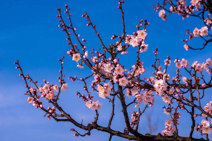 佐布里池畔に咲く梅の木は、約5000本にも及び、毎年、梅の開花時期となる2月中旬から3月中旬にかけて甘い香りが漂います。