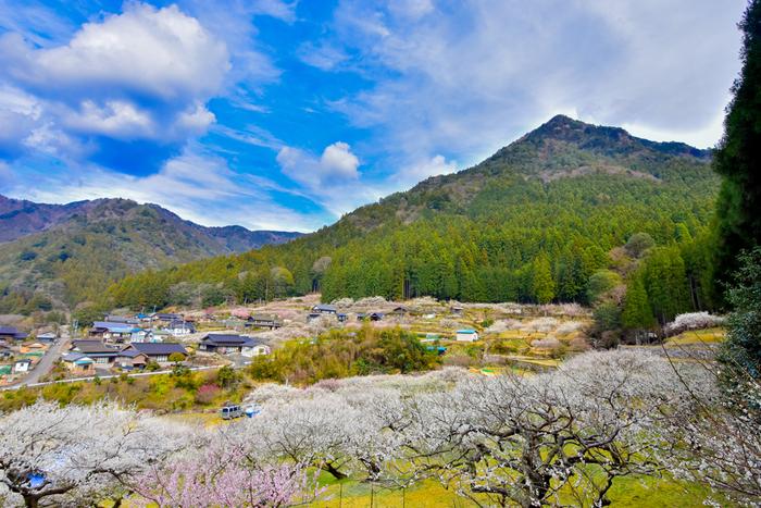 抜けるような青空、のどかな里山風景、薄桃色をした梅の花びらが織りなす景色は、まるで桃源郷のようです。