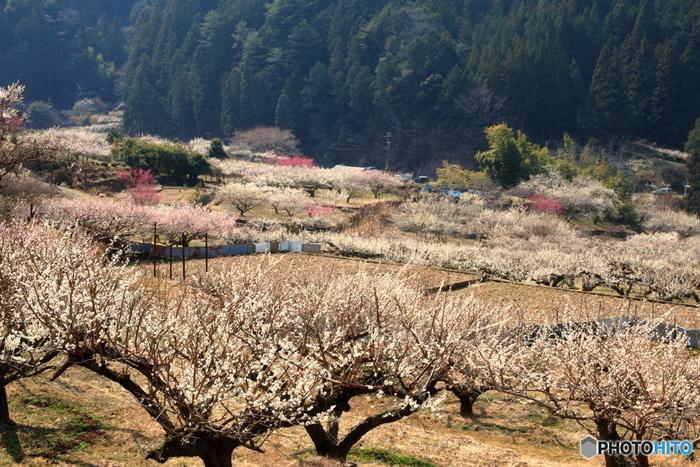 愛知県新城市の川売地区には、なだらかな丘陵地帯に約1500本の食用の栽培梅が植えられています。