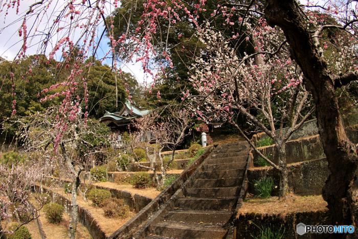 車窓からは風光明媚な景色が広がる伊豆箱根鉄道沿線の大仁駅近くにある大仁神社境内には、約600本の梅が植栽されています。枝垂梅、紅梅、白梅など約80品目に及ぶ梅は、初春が訪れる頃になると次から次へと花を咲かせ、神社境内を彩ります。