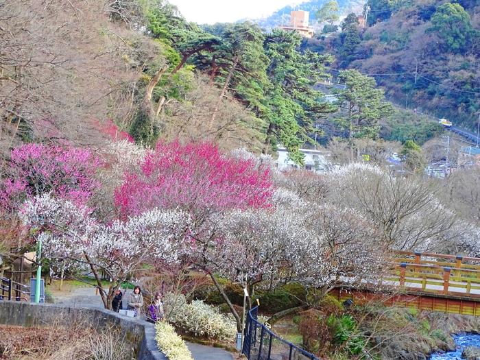 約4万4000平方メートルもの敷地を誇る熱海梅園は、静岡県を代表する温泉保養地となっている熱海市にある梅園です。
