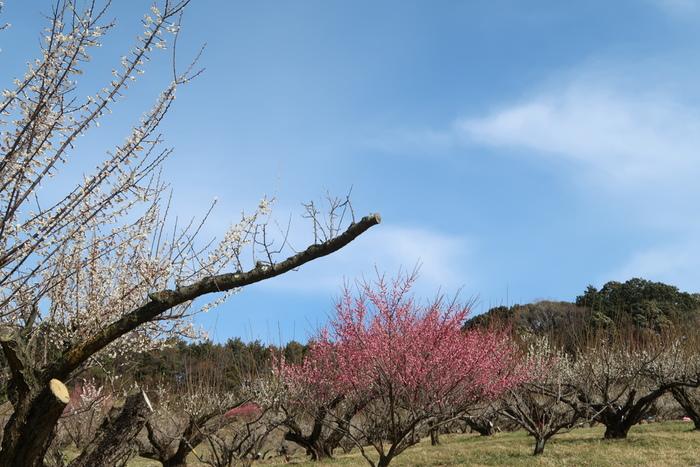 静岡県磐田市にある豊岡梅園では、白梅、南高、古城、改良内田、紅梅を中心に約3000本の梅が植栽されています。紅梅と白梅のコントラストの美しさは格別で、いつまで眺めていても飽きることはありません。