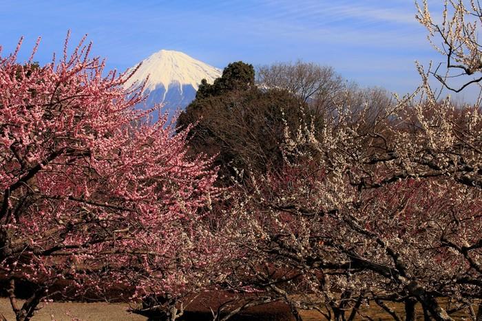 岩本山の山頂にある岩本山公園は、富士山を臨む格好の眺望スポットとして人気のある公園です。公園内には約320本の梅が植栽されており、毎年2月中旬から3月中旬頃にかけて見頃を迎えます。富士山を背景に梅が満開に咲き誇る様は、一枚の日本画のようです。