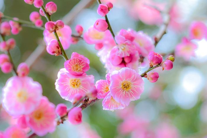 桃色の花びらをつけて一輪一輪と花を咲かせる梅の花の姿は可憐で、まるで春の訪れを告げる妖精のようです。