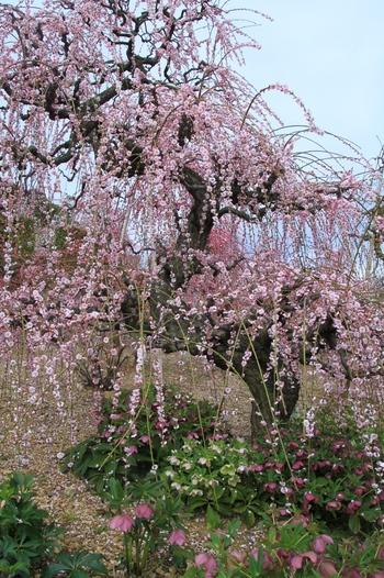 奥原高原では、うねりのある太い幹、端正に整えられた枝、八重に開花する花が特徴的な「昇竜しだれ梅」が約280本植えられていいます。八重咲きの花が、見頃を迎える時期になると、梅の大木は竜が天に昇るような姿となり、掛け軸のような景色を臨むことができます。