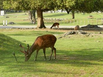 奈良公園といえば鹿。鹿に乗ってやってきた神様を祀っているのが春日大社。そのため鹿は「神様の使い」として神聖なものとして昔から大切にされてきました。公園内にはなんと1000頭を超える鹿がいるのだそう!