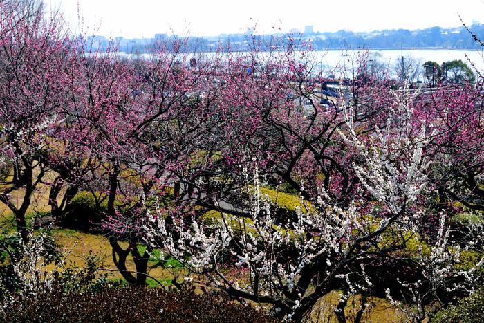 日本三大名園(金沢市の兼六園、岡山市の後楽園、水戸市の偕楽園)の一つに数えられる偕楽園には、約100品種、3000本もの梅が植樹されています。