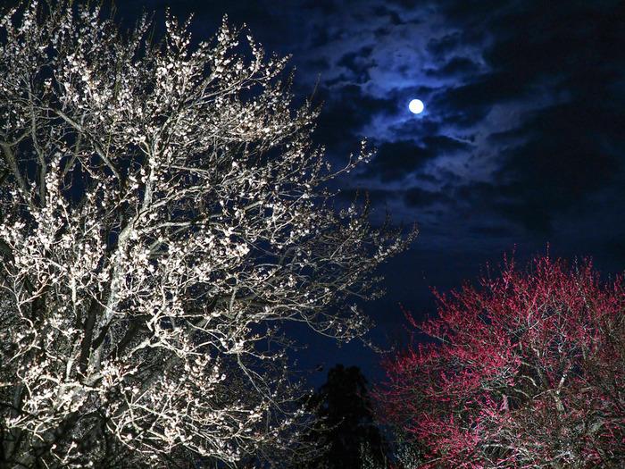 偕楽園では、梅林のライトアップも開催されます。漆黒の闇夜に、紅白の花を咲かせた梅の木が光を浴びて浮かび上がり、梅林内は幻想的な雰囲気に包まれます。