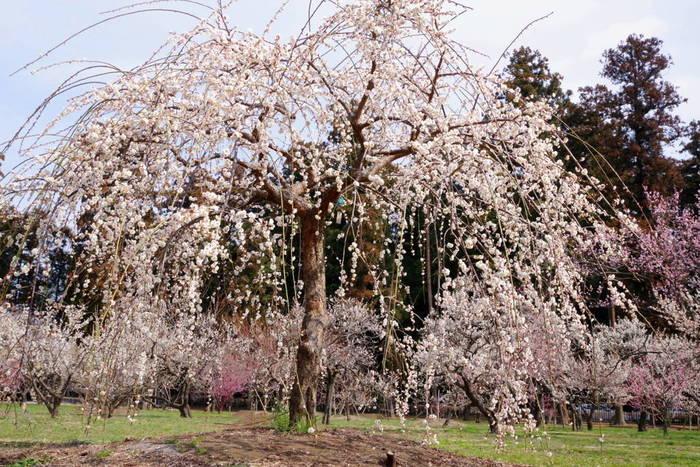 様々な品種の梅が次から次へと、見頃を迎える偕楽園では、毎年「梅まつり」が開催され、満開に咲き誇る梅が花見客を魅了します。