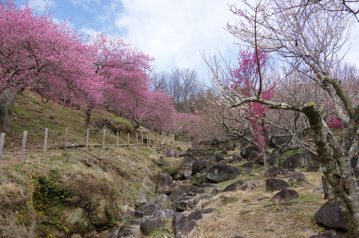 筑波山梅林は、標高250メートルの筑波山中腹にある梅林で、約1000本の梅の木が植樹されています。