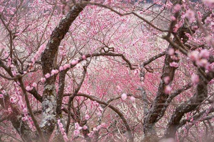 桃色に染まった梅の花が、空を覆い尽くす様は、まるで春そのものが大地に舞い降りたかのようです。