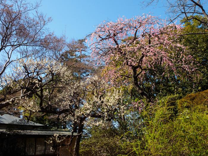 清水公園では、紅梅、白梅、八重寒梅、おもいのままなど、20品種の梅が約200本植樹されています。梅が見頃を迎える時季になると、公園内では「梅まつり」が開催され、大勢の花見客で賑わいます。