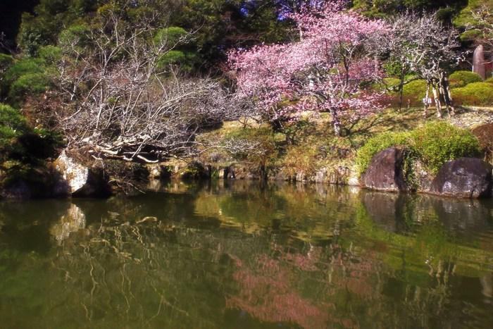 「成田不動」の愛称で親しまれている成田山新勝寺の裏手にある成田山公園には約500本の梅が植樹されています。梅が見頃を迎えると、紅白の梅が次々と花を咲かせ、成田山公園の美しい景色に華を添えています。