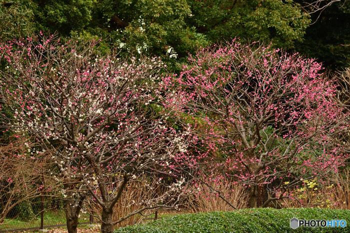 かつての旧江戸城本丸、二の丸、三の丸を公開している皇居東御苑では、約70本の梅が植栽されています。