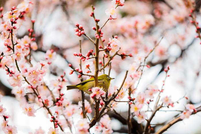 梅の木が並ぶ梅林坂では、ほんのりと甘い香りが漂っています。ここでは、梅の蜜を求めてやってきたメジロの姿を見かけることもあります。