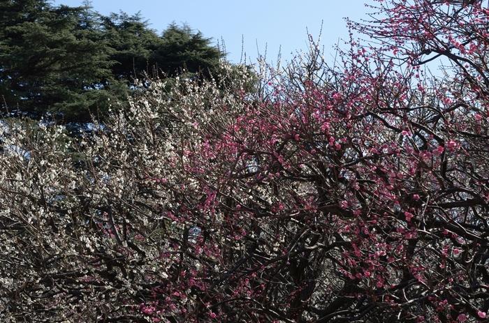 新宿御苑には、紅梅、白梅など約300本の梅が植栽されています。毎年2月中旬頃から見ごろを迎え、庭園の美しさを引き立てています。