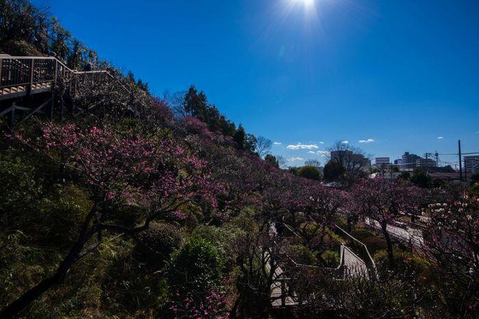 池上梅園は、なだらかな丘陵の傾斜地に広がる梅園で、約30品目370本の梅が植栽されています。