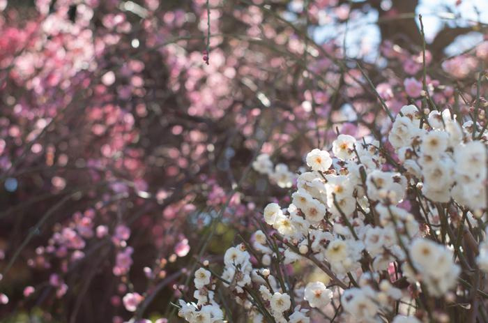 小村井香取神社の境内にある香梅園には、約85品種の梅が植栽されています。