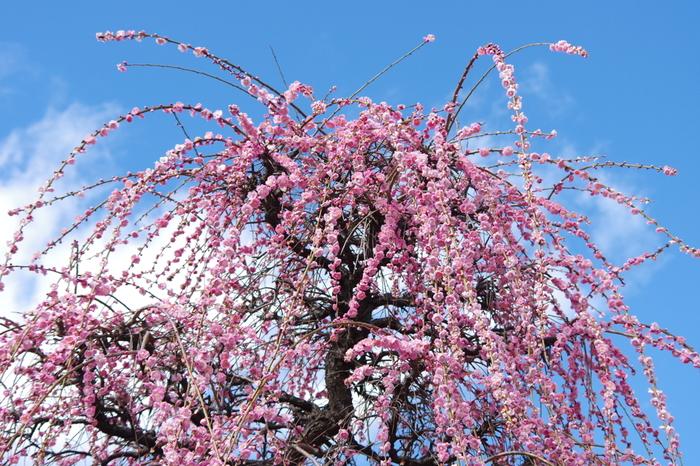 抜けるような青空を背景に、満開に咲き誇る枝垂梅は、春の訪れを告げているかのようです。