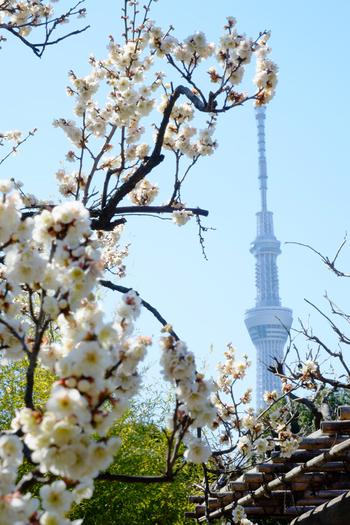 「四季百花の乱れ咲く園」という意味を持つ向島百花園は、江戸時代に活躍した歌人や文人たちの手によって造られた庭園です。敷地内には、白梅を中心に約70本の梅が植栽されており、初春の墨田区に彩りを与えています。