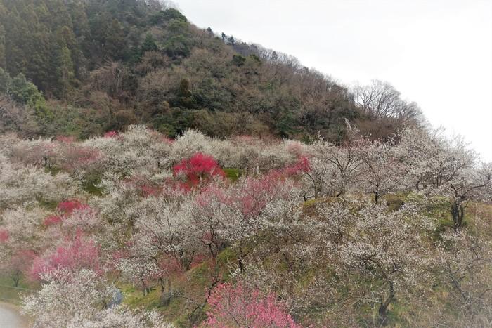 高尾梅郷とは、旧甲州街道沿いにある7つの梅林(遊歩道梅林、関所梅林、天神梅林、荒井梅林、湯の花梅林、木下沢梅林、小仏梅林)の総称です。4.5キロメートルに及ぶ旧甲州街道沿いには、約1万本もの梅が植栽されており、梅が見頃を迎える時期になると、なだらかな丘陵地帯は梅の絨毯を敷き詰めたかのような景色となります。