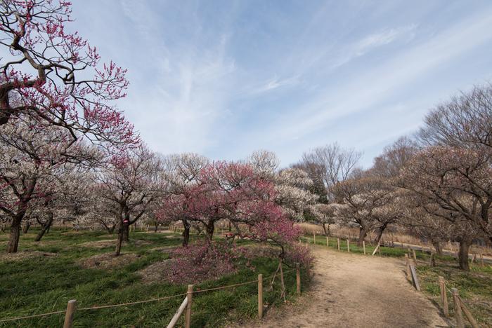 豊かな自然に包まれた野外博物館、府中市郷土の森博物館には、約60品種、1100本の梅が植栽されています。梅が見頃を迎える時期になると、ほんのりと甘い梅の香りが梅園内を包み込みます。