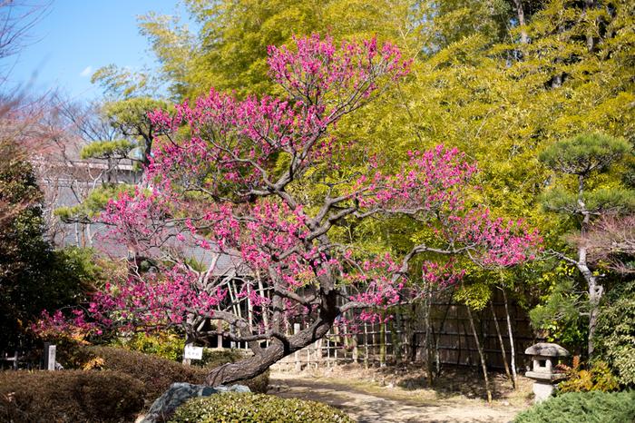緑の青竹と紅梅のコントラスト美しさは格別で、眼前に広がる景色は、まるで一枚の日本画のようです。