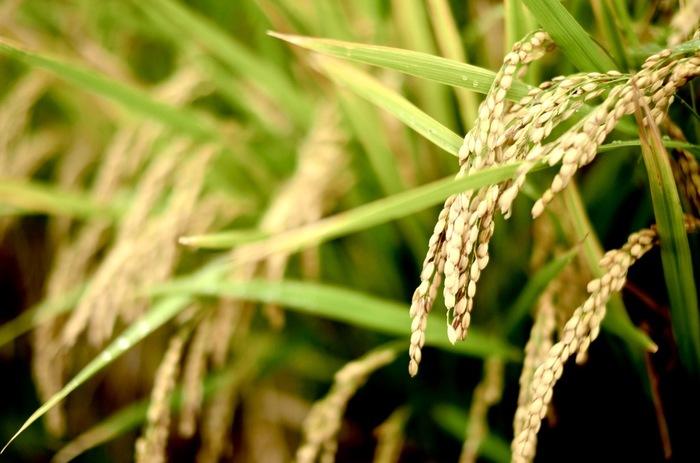 和菓子のレシピでよく使われる、上新粉、白玉粉、もち粉。一見、違いが分かりにくいこの3つの粉ですが、いずれも米を原料にした米粉です。「上新粉」は、うるち米を粉にしたもの。「もち粉」は、その名の通りもち米を粉にしたもの。「白玉粉」は、もち米を洗って水に浸したあと、水を加えながら挽き、沈殿したものを乾燥させてつくられたものです。