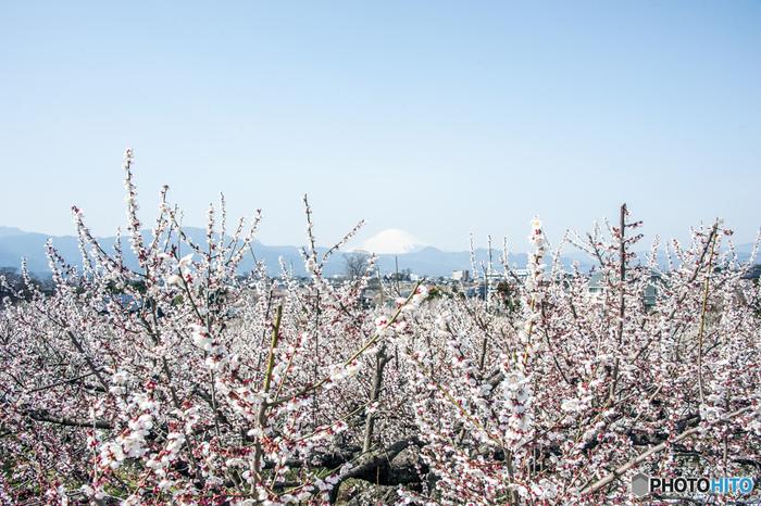 梅が見頃を迎える時季になると、白く冠雪した富士山と満開に花を咲かせた約3万5000本もの梅の木が織りなし、梅林内は絵画のような景色となります。