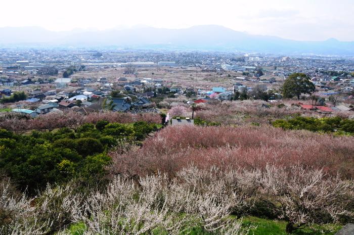 蘇我梅林とは、富士山と箱根連山の麓に位置する3つの梅林、中河原梅林、原梅林、別所梅林の総称です。