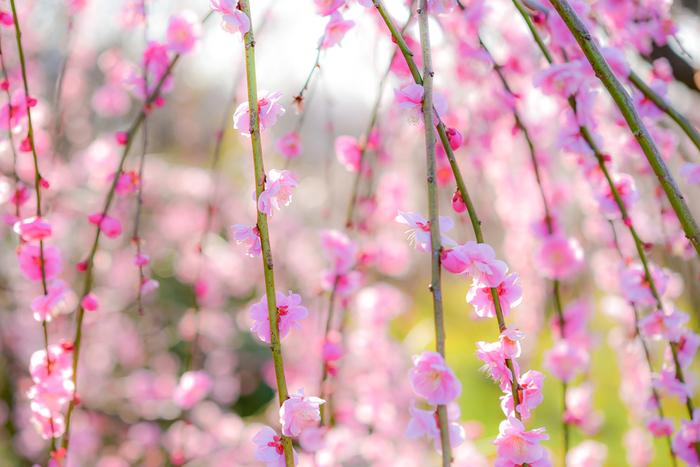 薄桃色の花びらをした梅の花が視界を覆い尽くす様は、まるで春そのものがこの地に舞い降りたかのようです。