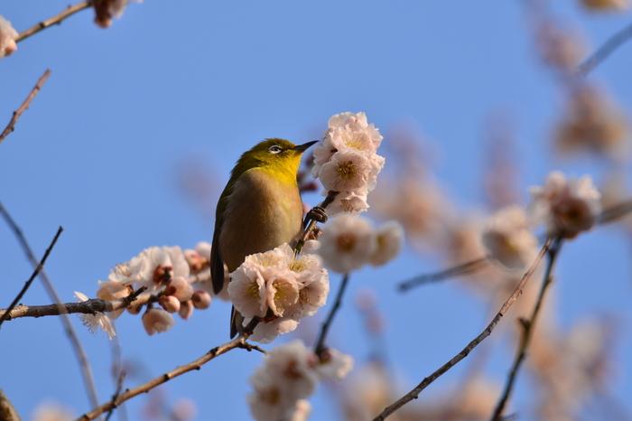 広大な敷地を誇る梅林では、梅の香りに誘われてやってきたメジロなど、愛らしい小鳥の姿を見かけることもあります。