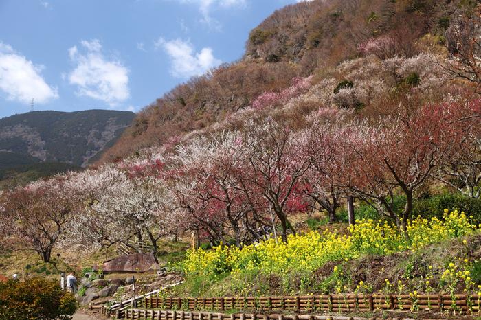 梅の名所として名高い湯河原梅林は、標高626メートルの幕山に広がる梅林で約4000本の梅が植樹されています。