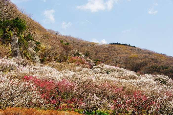 紅梅、白加賀、十郎、淡路枝垂、輪違いなど、様々な品種の梅約4000本が一斉に開花し、まるで山肌に梅の絨毯を敷き詰めたかのような姿となります。