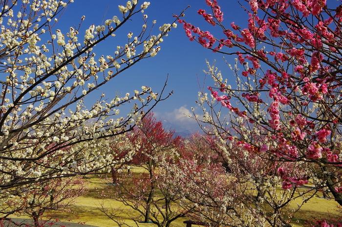 四季折々で美しい花々が咲き乱れる花の楽園、小田原フラワーガーデンには約200品種、約480本の梅が植樹されています。