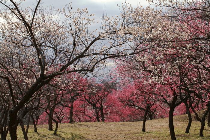 東京のベッドタウンとして人気を誇る横浜市青葉区にある緑豊かな児童公園、こどもの国には約650本の梅が植樹されています。毎年梅の開花時期に合わせて「こどもの国梅まつり」が開催され、大勢の花見客でにぎわいます。