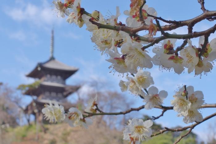 横浜市有数の梅の名所として知られている三溪園には、紅梅、白梅、臥竜梅、緑萼梅など多品種にわたる梅約600本が植樹されています。淡い桃色をした梅の花は、三溪園の庭園風景の美しさを引き立てています。
