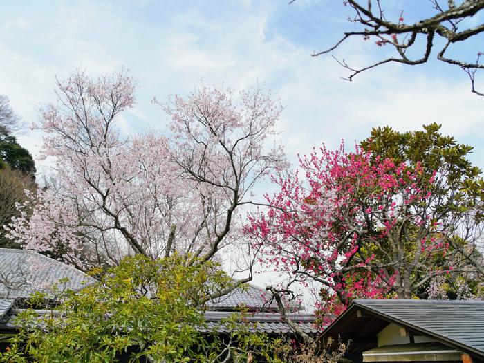 東慶寺は、1285年に開基された臨済宗円覚寺派の寺院です。古くから「縁切寺」として呼ばれている東慶寺境内には、梅の他に、桜、水仙、ボタン、花菖蒲などが咲く花の寺としても親しまれています。