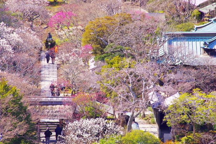 梅の名所として知られている東慶寺境内には、白梅、紅梅、枝垂れ梅などを中心に、約150本の梅が植樹されています。