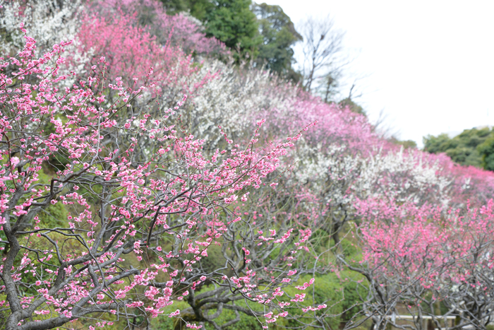 梅が見頃を迎える時期になると、紅梅と白梅が競うように花を咲かせます。梅園内は、なだらかな傾斜地は桃色のグラデーションへに染まります。