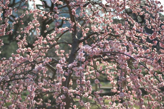 八重咲きの枝垂梅が満開に花を咲かせ、視界が桃色で染める様子は、春そのものが大地に舞い降りたかのような錯覚を感じます。