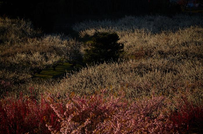 梅が開花し、見頃を迎えると、大地は桃色のグラデーションに染まり、まるで梅の絨毯を敷き詰めたかのような風景が現れます。