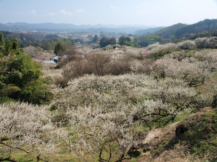 約50ヘクタールに及ぶなだらかな丘陵地帯に3万5000本の梅が次々と開花する景色は壮観で、訪れる人々を魅了してやみません。