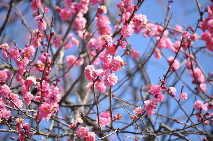 群馬産大梅林(箕郷梅林、秋間梅林、榛名梅林)の一つ、秋間梅林は、秋間川の上流に位置する梅林です。関東有数の梅の名所として知られており、梅が見頃を迎える時季になると、秋間梅林祭りが開催されます。