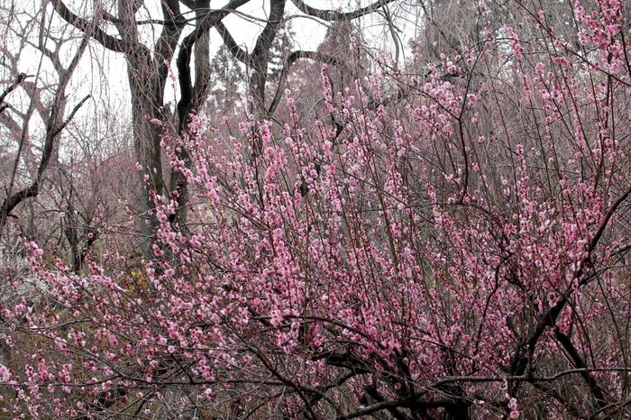 四季折々で美しい花々が咲く群馬フラワーハイランドは、秋間梅林近くにあるテーマパークです。約5万平方メートルに及ぶ広大な敷地には八重寒紅梅、蝋梅、紅梅、白梅など約600本の梅が植樹されています。