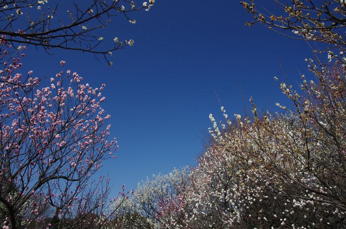 昭和55年に開演された大宮第二公園は、埼玉県でも指折りの梅の名所として知られています。公園の敷地内には、紅梅、白梅、枝垂梅、茶筅梅、緑萼梅、八重寒紅梅、白加賀など、約40品種520本の梅が植樹されています。