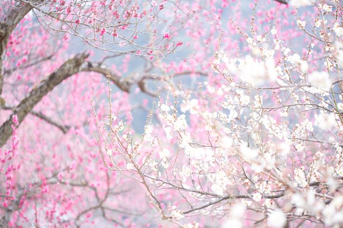 競うように花を咲かせる梅の花々が視界を桃色のグラデーションで埋め尽くす様は、まるで地上に天女の羽衣が舞い降りたかのようです。